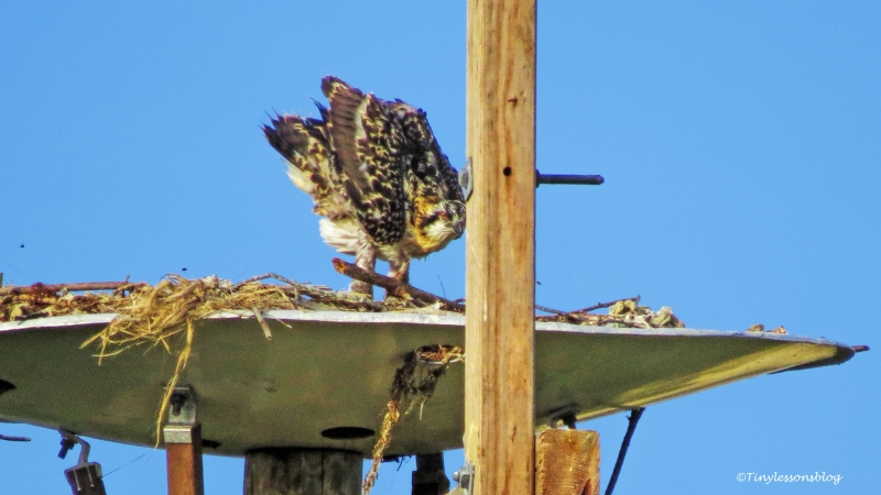 osprey chick flexes her wings ud124