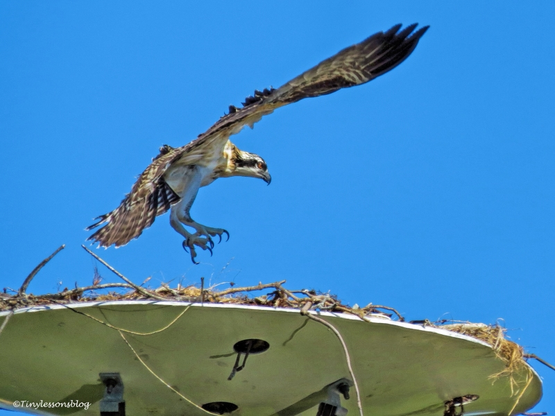 osprey chick in flight ud126_edited-1