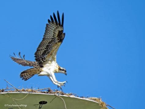 osprey chick lands ud126