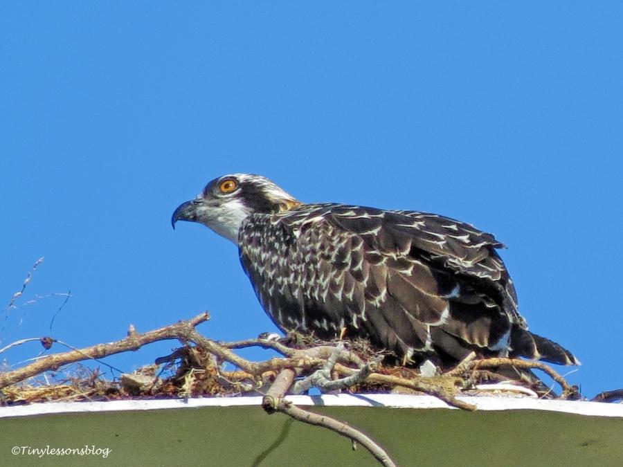 osprey chick looks at the big bird ud126_edited-2