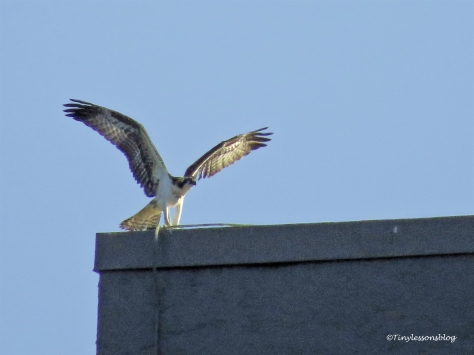 osprey chick on Marriott's roof ud126_edited-1