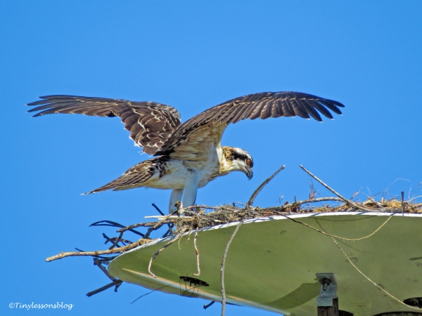osprey chick pepares to fly ud126_edited-1