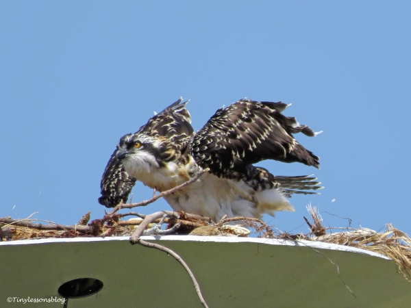 osprey chick streches her wings ud125