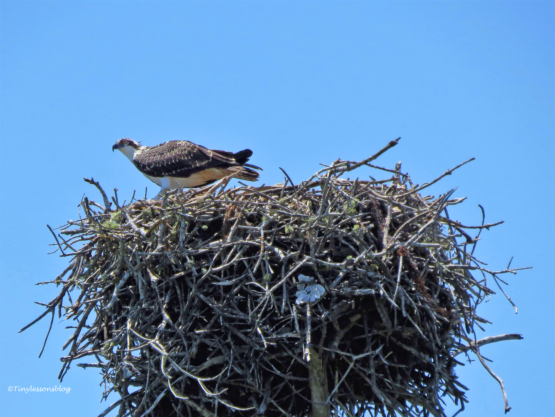 osprey chick ud123