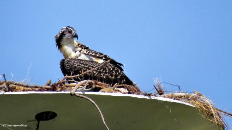 osprey chick watches mama flying ud125