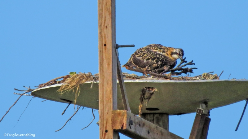 Osprey chick works on the nest 124
