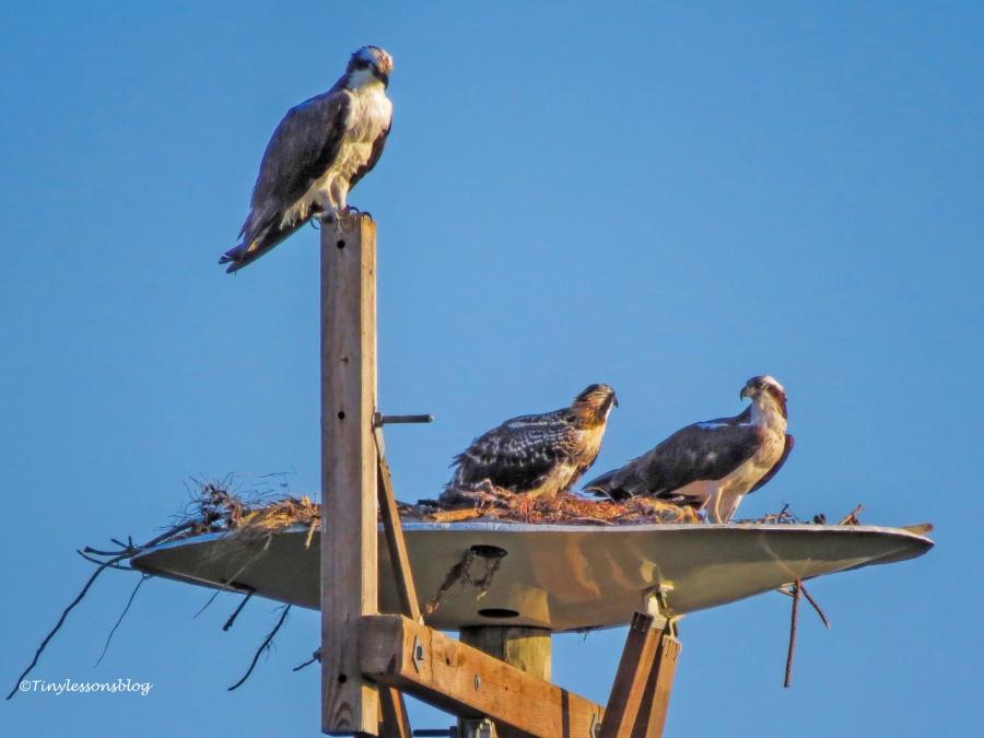 Osprey family at sunset ud125