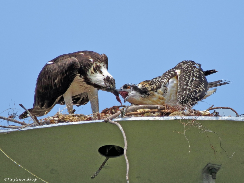 osprey female feeds the chick ud125_edited-1