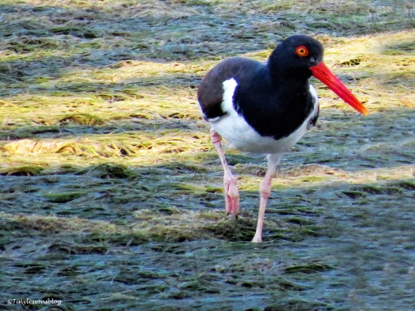 oystercatcher ud125