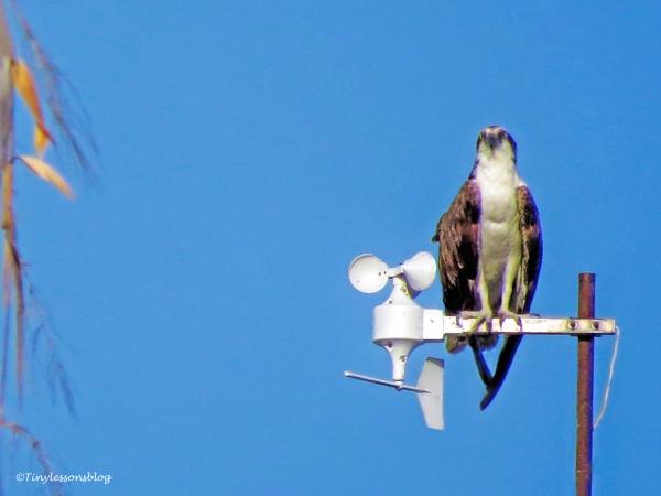 Papa osprey waits ud126_edited-1