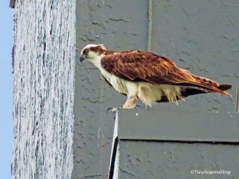 papa osprey watches the chick ud126