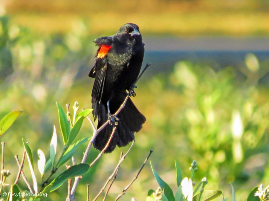 Red-winged Blackbird ud125
