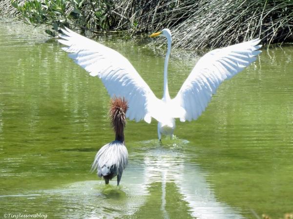 Reddish Egret chases a Great Egret ud125