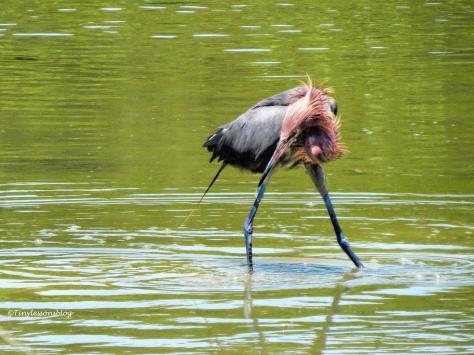reddish egret fishing 1 ud124.jpg