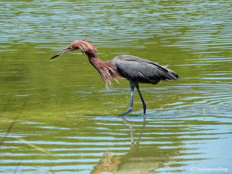 reddish egret fishing 2 ud124