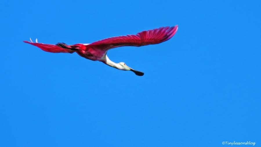 Roseate spoonbill in flight ud124