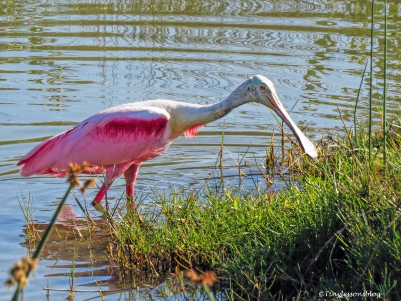 Roseate spoonbill ud124