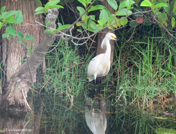 snowy egret in everglades ud123