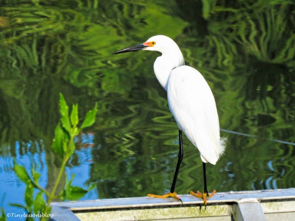 snowy egret ud124