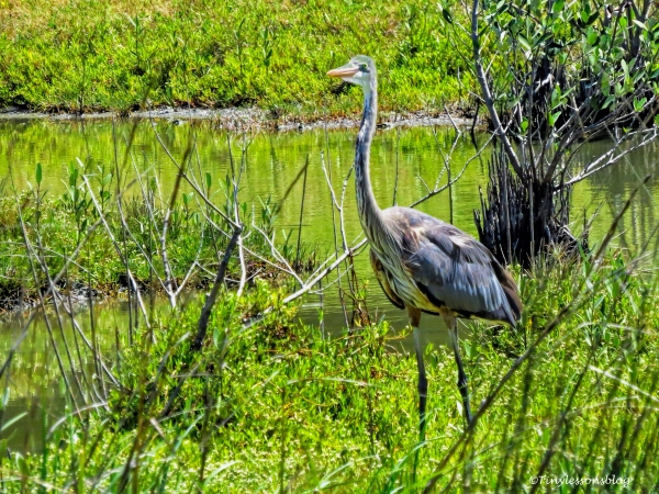 the great blue heron mayor 2 ud124