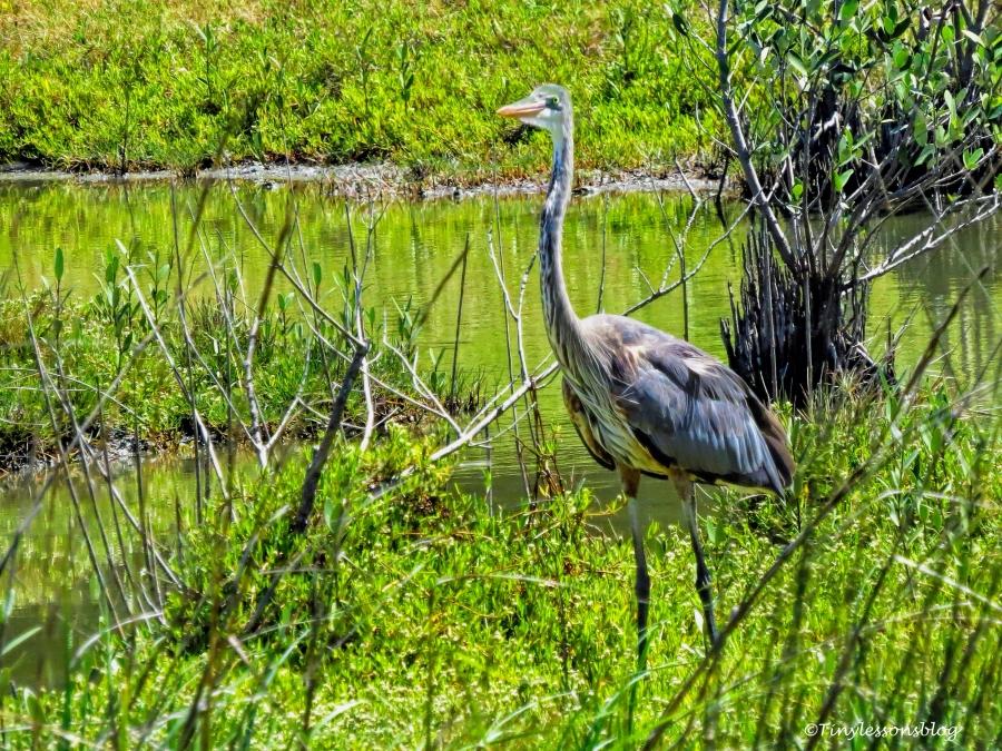 the great blue heron mayor 2 ud124