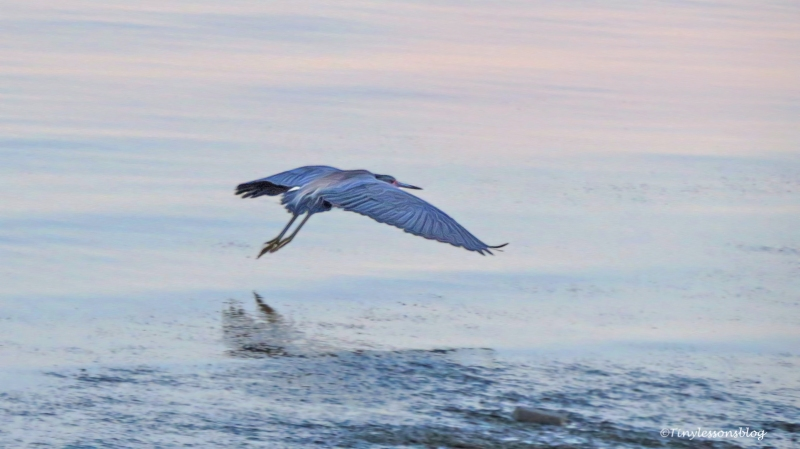 tri-colored heron flies away ud125