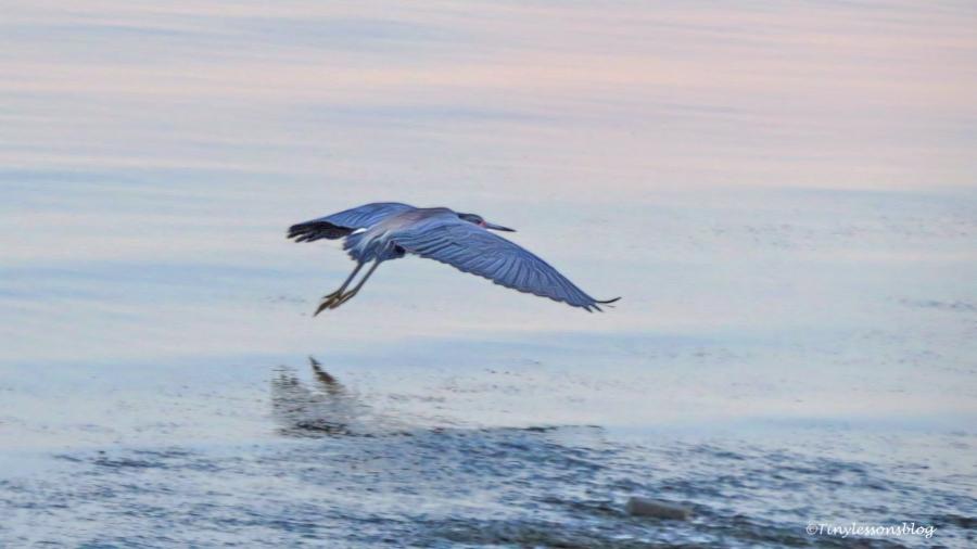 tri-colored heron flies away ud125