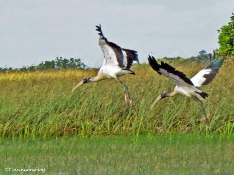 two woodstorks in flight ud123