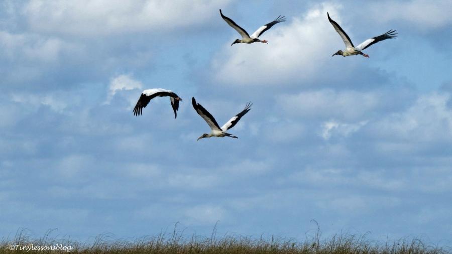 wood storks in flight ud123
