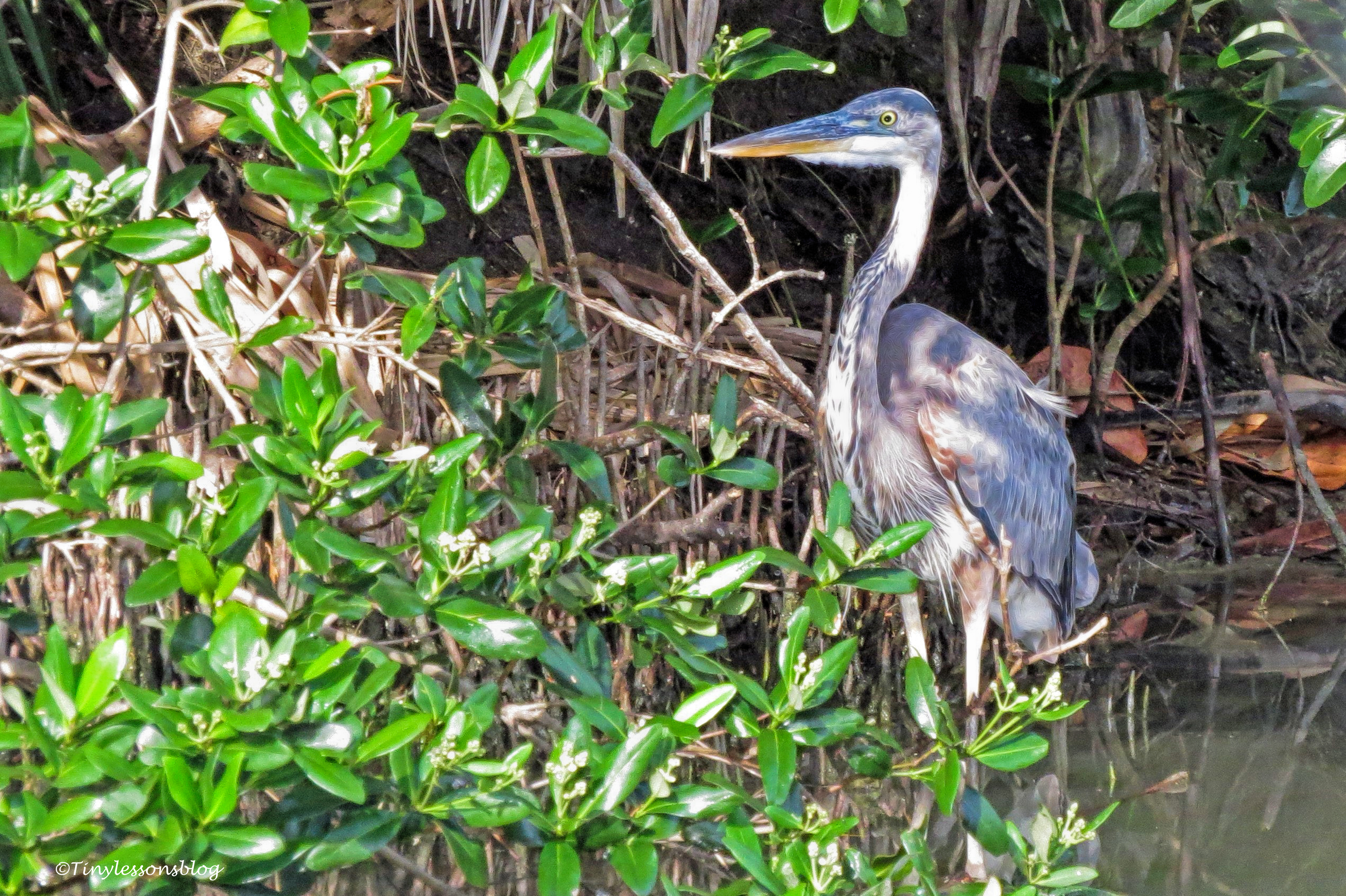 young great blue heron ud124