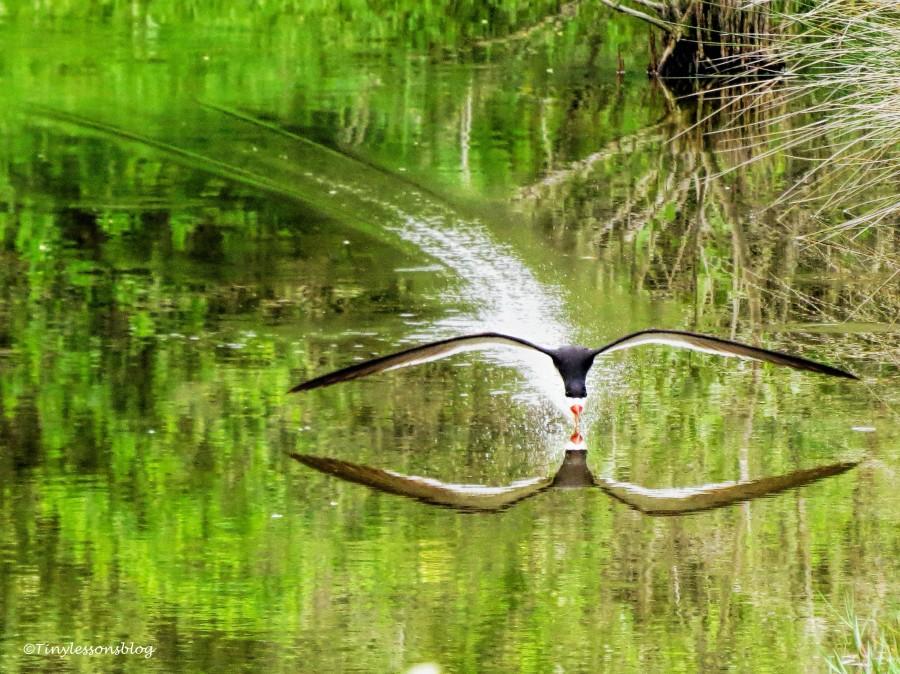 black skimmer skimming ud130