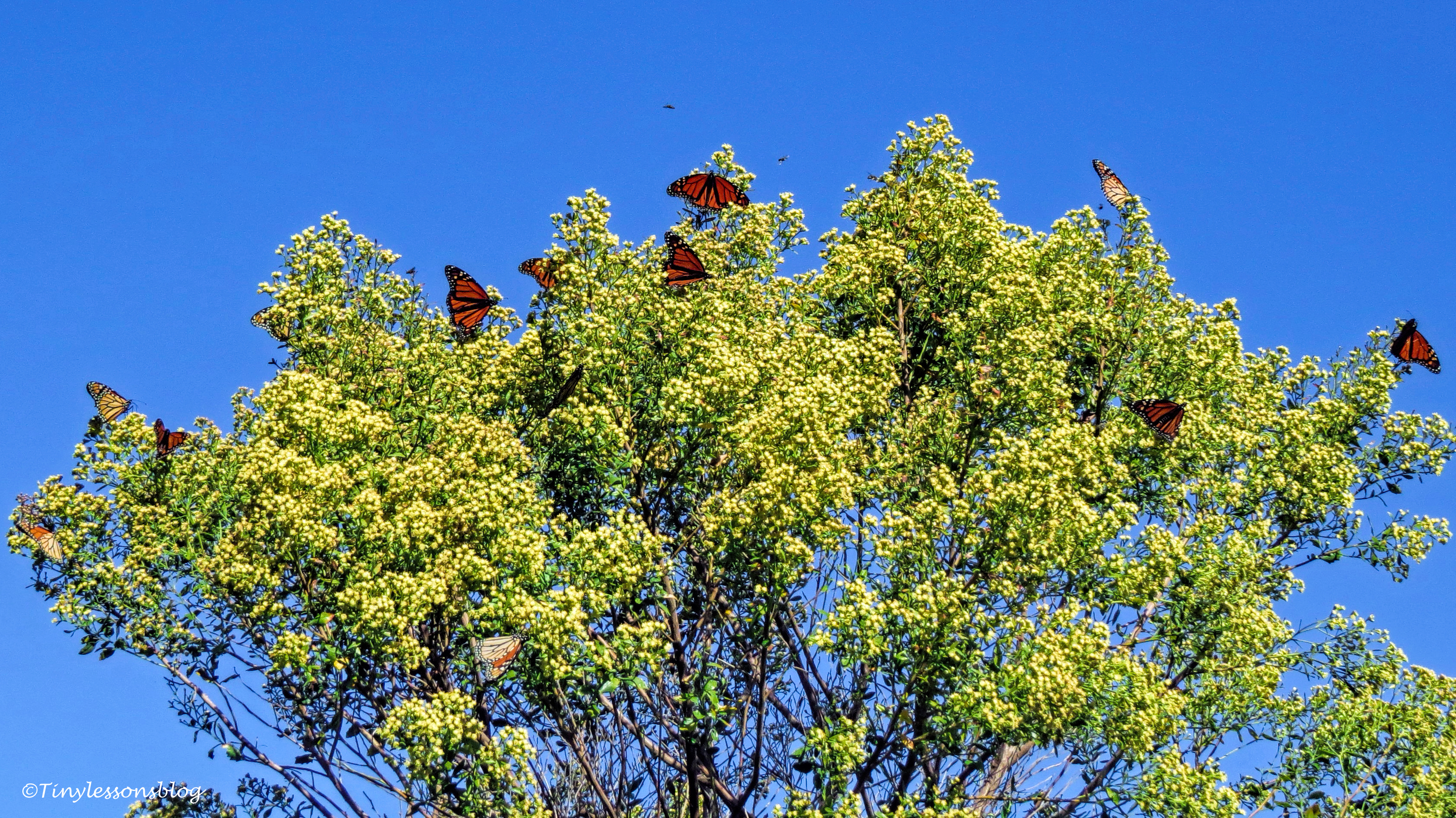 butterfly tree ud129