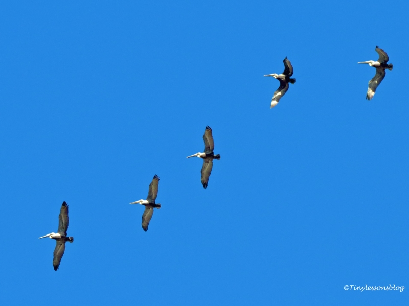 five pelicans in formation UD129