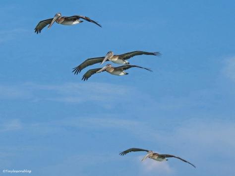 four pelicans in flight ud129_edited-1