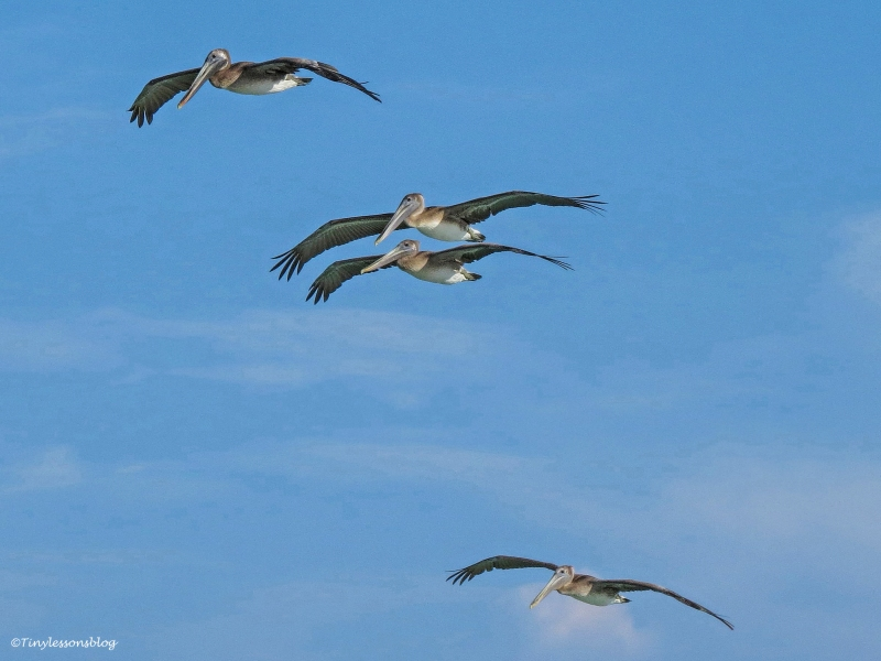 four pelicans in flight ud129_edited-1