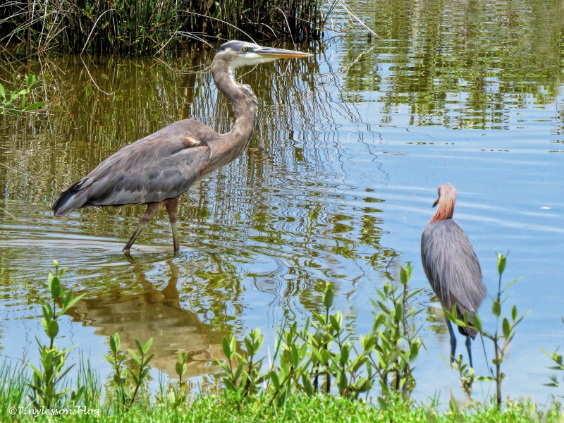 great blue heron and reddish egret ud132_edited-3