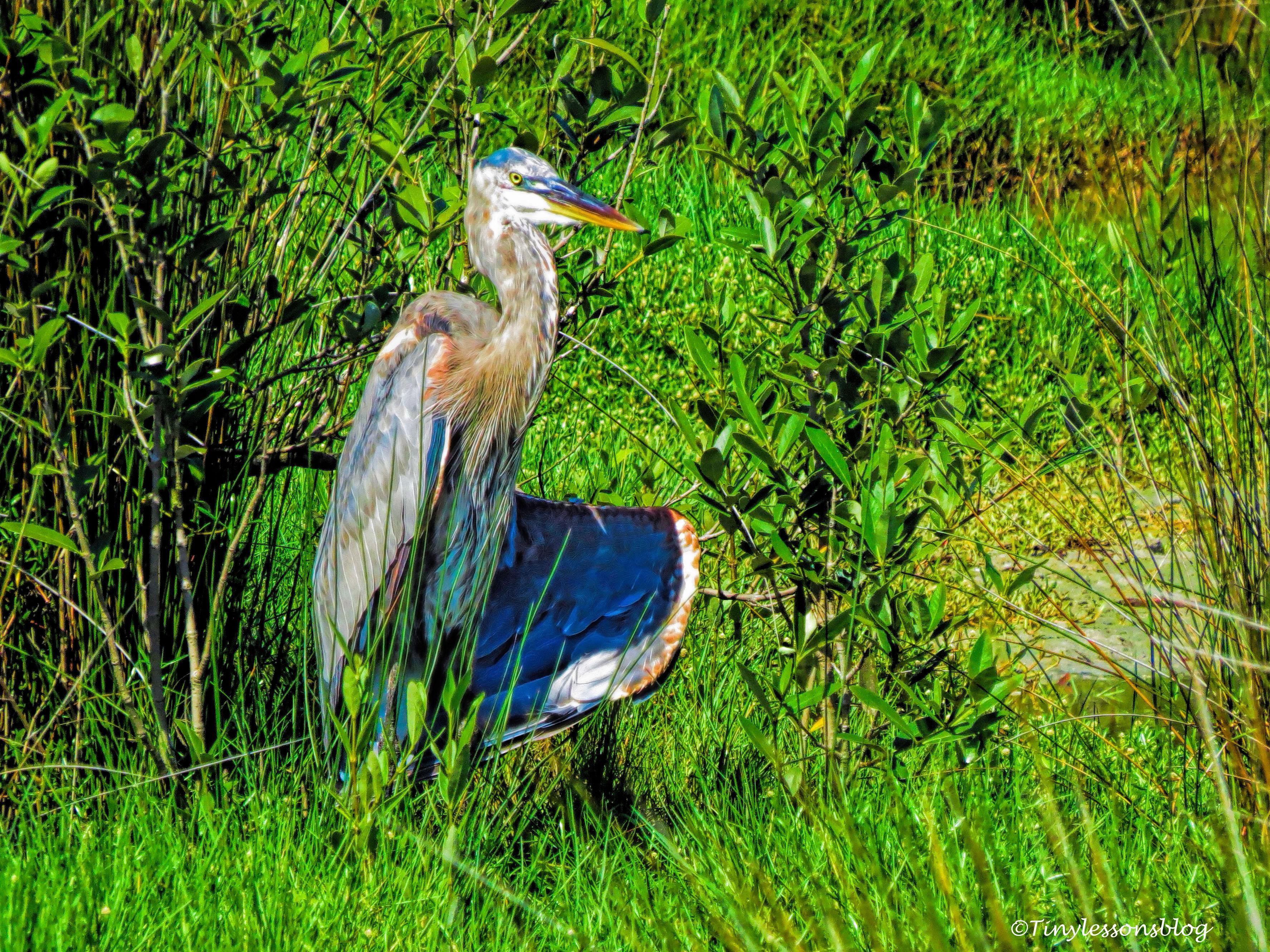 great blue heron B ud131_edited-1