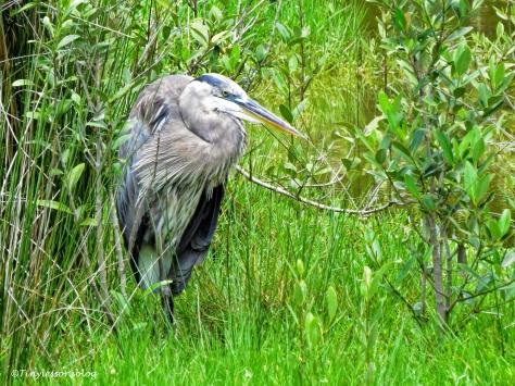 great blue heron the mayor ud132