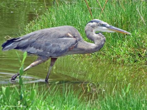great blue heron ud132