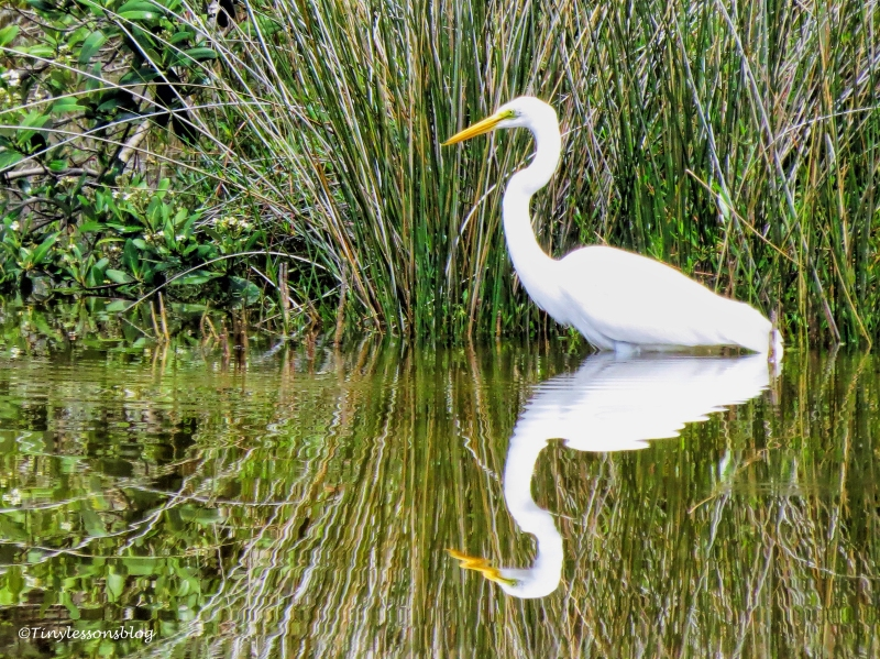 great egret ud132