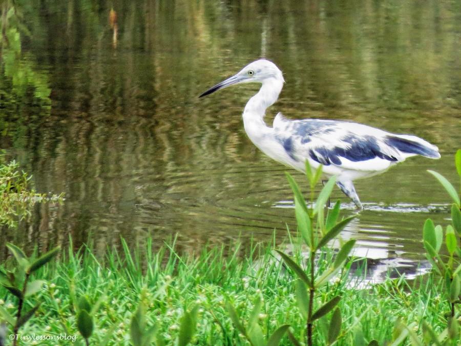 juvenile little blue heron 2 ud130