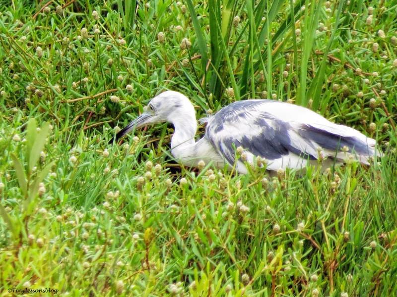 juvenile little blue heron ud130