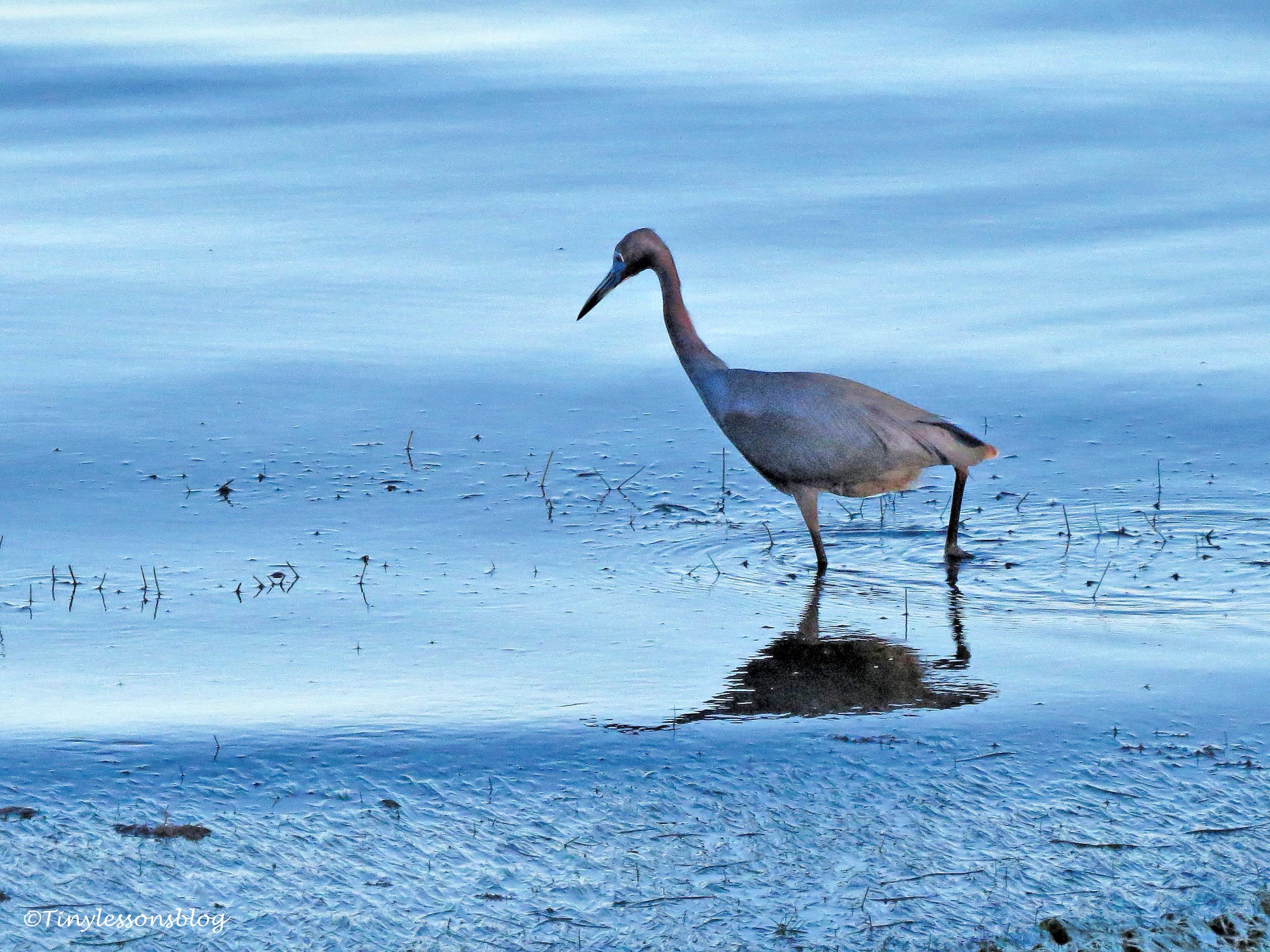 little blue heron at sunset ud131