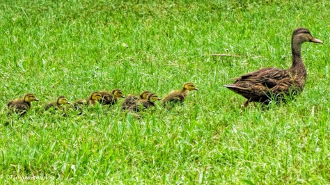 mama duck and ducklings ud129
