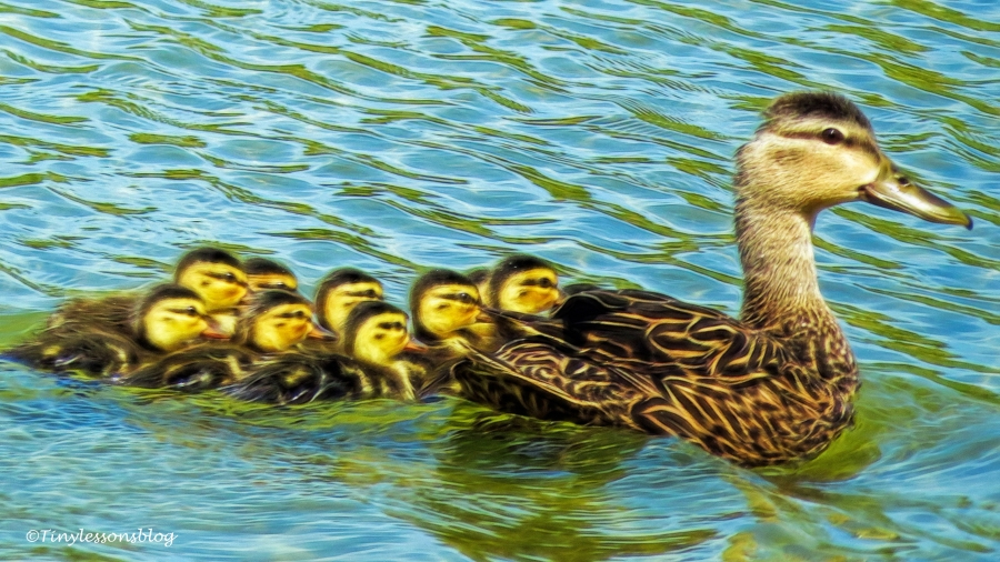 mama mottled duck with ducklings ud129