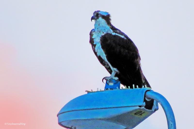 mama osprey after sunset ud129
