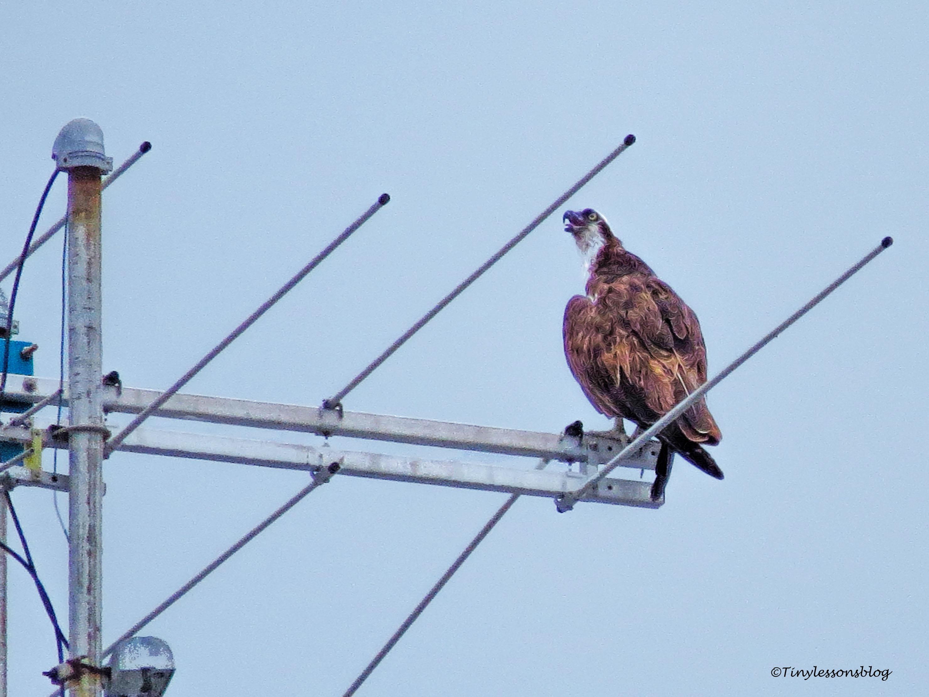 Mama osprey keeps watch ud130