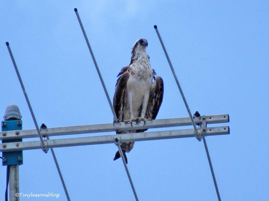 mama osprey on Sunday ud132
