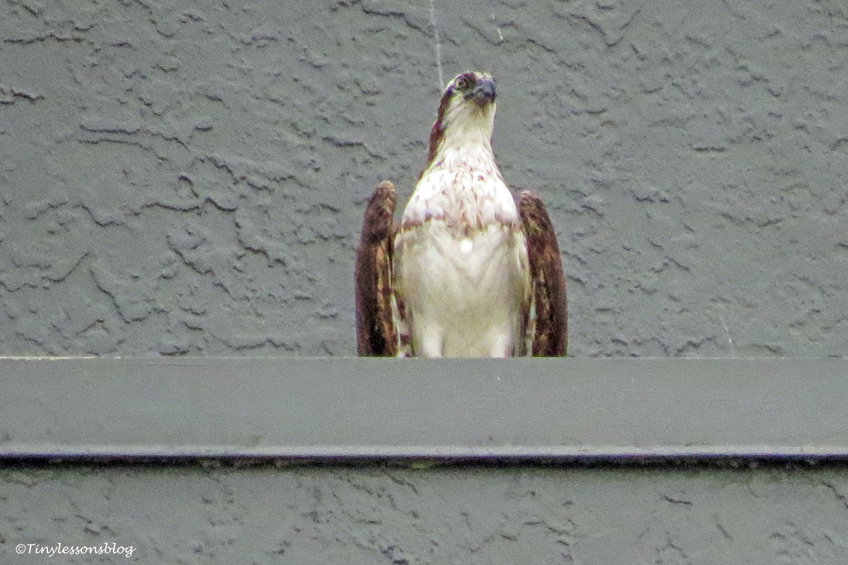 mama osprey with chick at Marriott ud127_edited-1