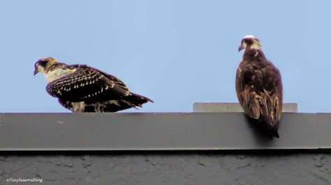 osprey chick and mama osprey on the roof ud127_edited-1